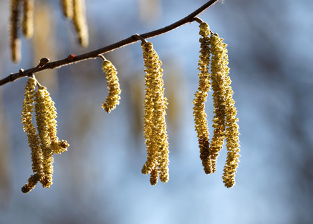 Close up of hazel tree (lat. Corylus avellana) in early spring photo