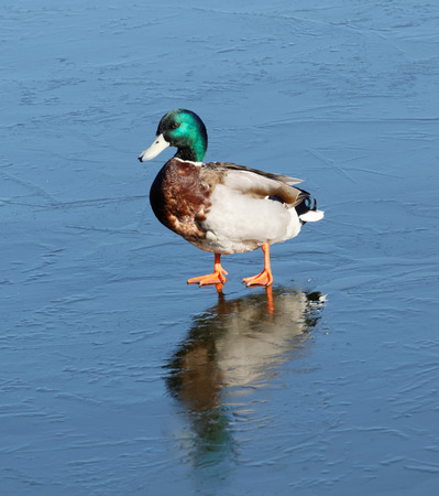 fulica: One male mallard (lat. Fulica atra) walking on thin ice