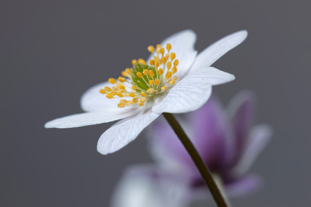 gray anemone: Single wood anemone, short depth of focus, gray background, side view. Latin name: Anemone nemorosa