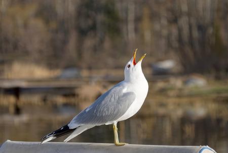 Seagull raising it