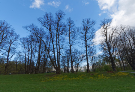 large trees: Large trees without leaf and green grass during the early spring