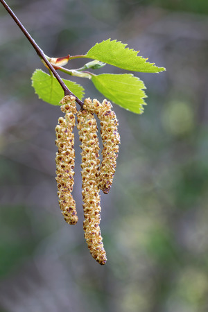 Branch of birch catkin latin: Betula pendula short depth of field