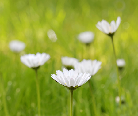 daisys: Group of daisys with bright green de-focused background