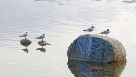 grafitti: Four black headed gull standing on stones with grafitti in the water and reflecting in the water surface Stock Photo