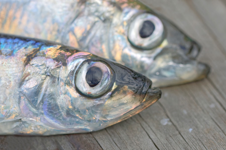 kipper: Close-up of heads of two baltic herring laying on the bridge. Very short depth of focus