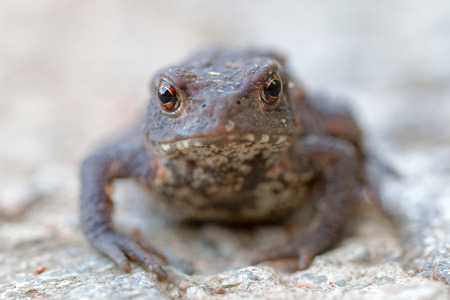 amphibia: Front view of a baby toad with big eyes staring. Only the eyes are in focus