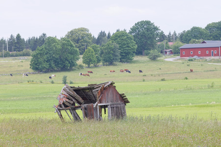 cows red barn: tumbledown barn on a field. Cows iand a red house n the background Stock Photo