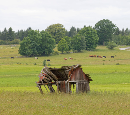 outbuilding: tumbledown barn on a field. Cows in the background