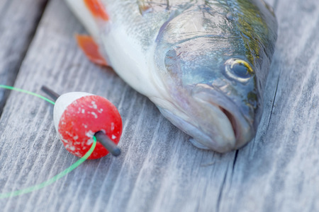 perca: Head of a european perch and a red float laying on a gray bridge. Short depth of focus