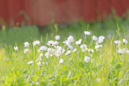 daisys: Group of daisys in front of a red defocused wall Stock Photo