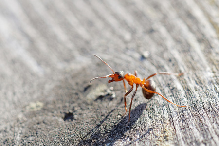 agressive: Red ant warrior in agressive pose standing on gray wooden plank. Latin: Formica Rufa