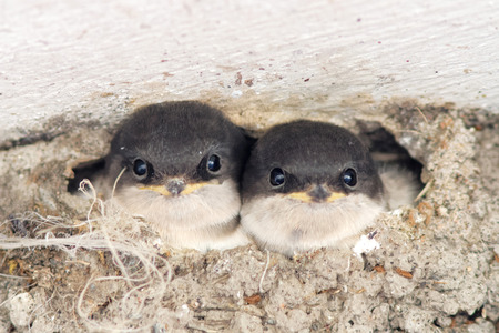 Two baby swallow looking out from  the nest. Latin name: Hirundo rustica