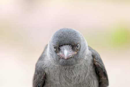 jackdaw: CLose-up of staring Jackdaw, front view, bright background. Latin name: Corvus monedula