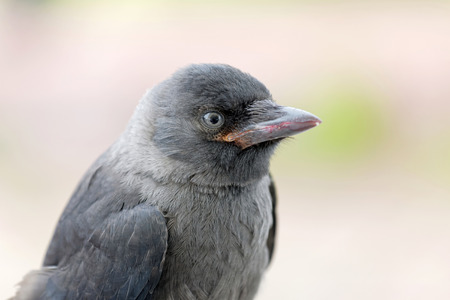 jackdaw: CLose-up of staring Jackdaw, side view, bright background. Latin name: Corvus monedula