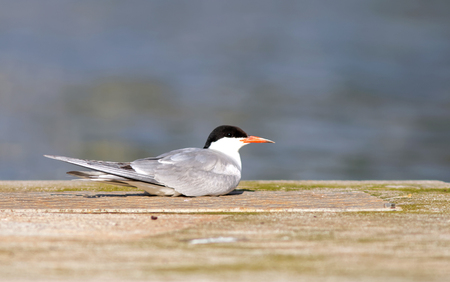 sweden resting: Tern resting on a bridge, side view Stock Photo