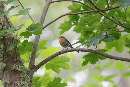sweden resting: Robin standing on a branch, side view. Bright background Stock Photo