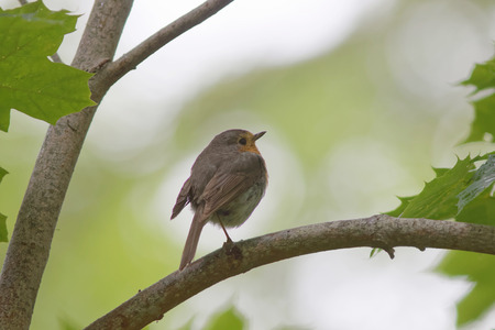 sweden resting: Baby robin standing on a branch, side view. Bright green background