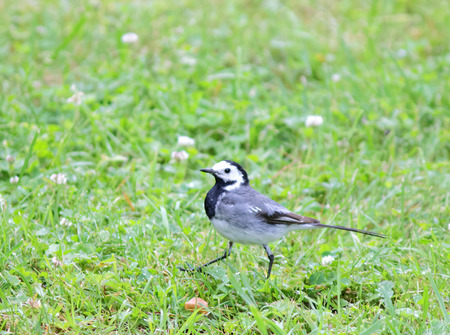 motacilla: Wagtail bird walking on grass. Latin name: Motacilla Alba