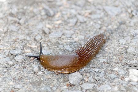 Hermaphrodite: Spanish slug creeping on bridle road, short depth of focus. Latin name: Arion Vulgaris