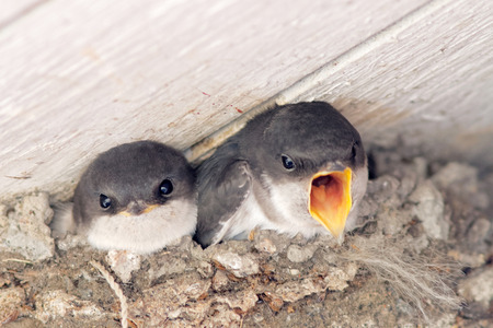hirundo rustica: Two baby swallow looking out from  the nest, one is screaming for food. Latin name: Hirundo rustica