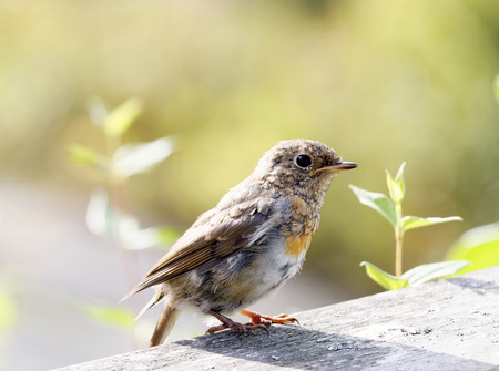 sweden resting: Baby robin standing on a plank, side view. Bright green background Stock Photo