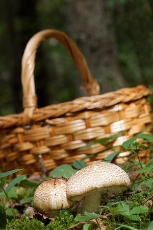 agaricus: Mushroom basket behind Agaricus augustus mushroom in the moss