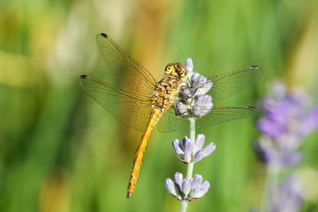flavescens: Yellow dragonfly sitting on a violet flower, bright green background. Latin name: Pantala  flavescens Fabricius