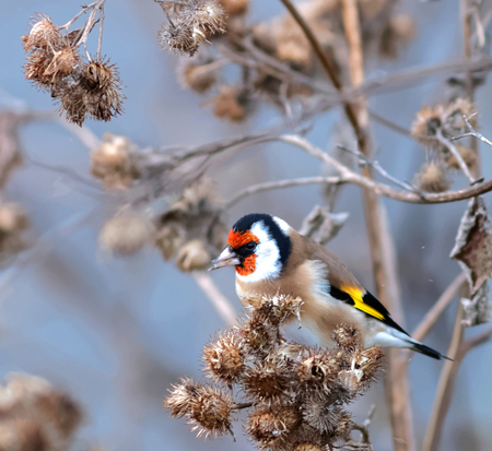 goldfinch: Hungry goldfinch eating burdock, the favourite food. Gray background Stock Photo