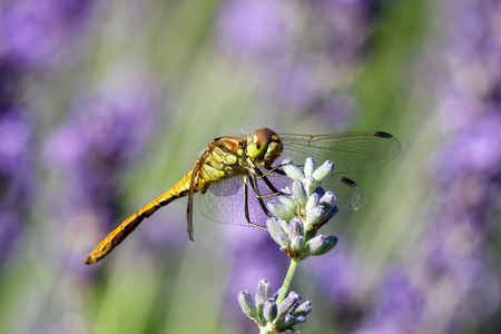 flavescens: Side view of a yellow dragonfly sitting on a violet flower. Latin name: Pantala  flavescens Fabricius