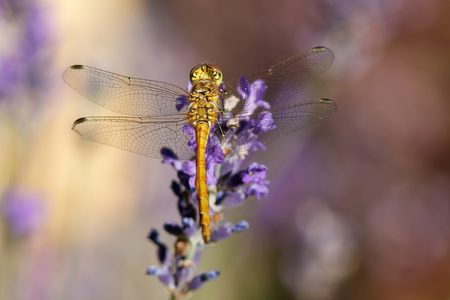 flavescens: Yellow dragonfly sitting on a violet flower. Latin name: Pantala  flavescens Fabricius Stock Photo