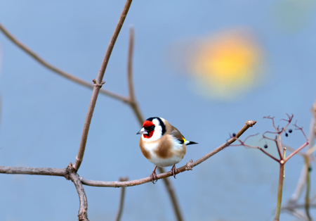 goldfinch: Goldfinch sitting on a branch, blue sky and the morning sun in the background Stock Photo