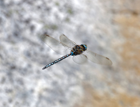 sweden resting: Blue dragonfly flying, a gray rock in the background.