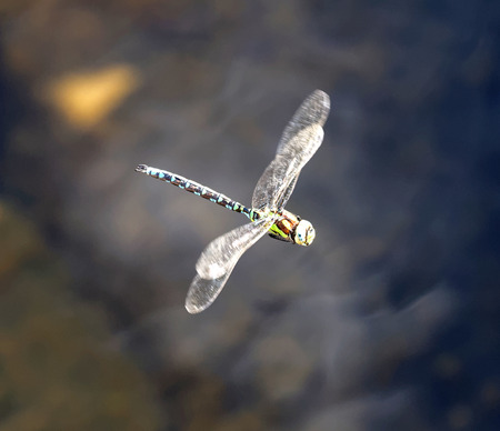 sweden resting: Blue, brown and yellow dragonfly flying, unsharp water in the background. Stock Photo