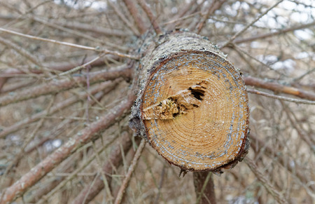 pinaceae: Tree rings showing the age of a spruce tree (latin: Pinaceae), closeup