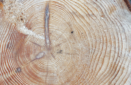 sap: Tree rings showing the age of a pine tree (latin: Pinus), closeup Stock Photo