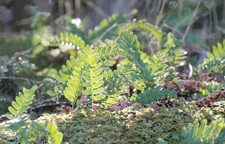 polypodiaceae: Bright green fern in the moss, the first morning light a sunny day in spring