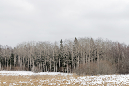 aspen leaf: Meadow and forest edge with aspen without leaf and spruce. The meadow partly covered with snow
