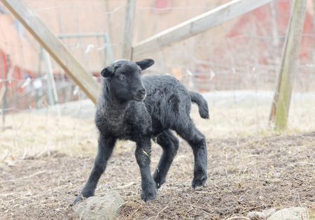 pasture fence: Beautiful newborn black lamb lin the pasture, fence and a barn in the background Stock Photo