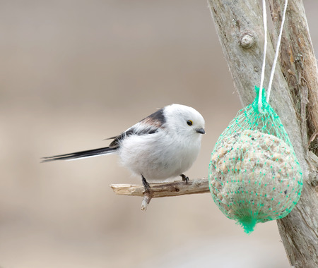 tit bird: Long tailed tit bird sitting on a branch eating bird feed