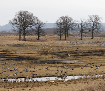 sweden resting: Thousands of crane birds in the morning light, eating and resting a few days at Hornborgarsjon, Sweden, before flying to the north of Sweden. Trees in the background
