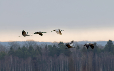 sweden resting: Silhouette of five flying crane bird in the early morning light, forest and sky in the background