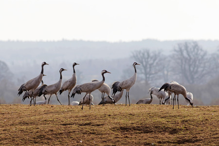 sweden resting: Group of crane birds in the early morning light, standing on the grass looking to the right, resting a few days before moving on to the north of Sweden