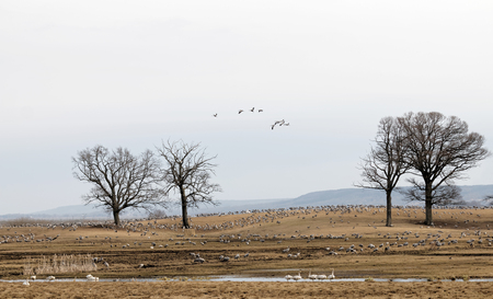 sweden resting: Thousands of crane birds and some swans in the morning light, eating and resting a few days at Hornborgarsjon, Sweden, before flying to the north of Sweden. Trees in the background