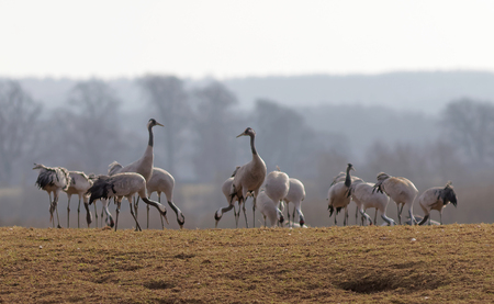 sweden resting: Group of crane birds in the morning light, eating and resting and few days before flying to the north of Sweden. Trees in the background
