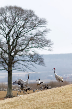 sweden resting: Crane birds dancing to impress each other in the morning light at Hornborgarsjon, Sweden, before flying to the north of Sweden. Tree in the background Stock Photo