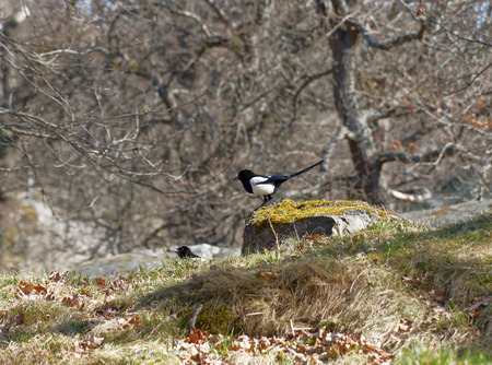 pica: Two magpie (latin Pica pica) jumping up on a rock, trees in the background