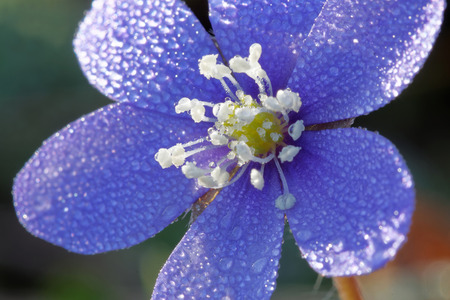 nobilis: Closeup of blue anemone covered with water drops (latin: hepatica nobilis). Short depth of focus Stock Photo