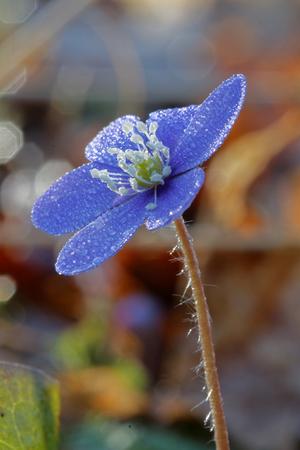 hepatica: Closeup of blue anemone covered with water drops (latin: hepatica nobilis). Short depth of focus Stock Photo