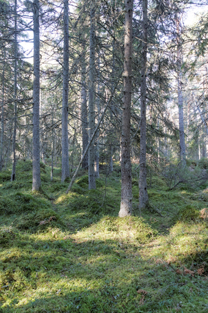 softwood: Spruce forest and green moss in sunlight