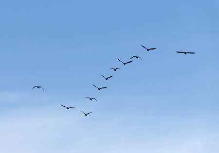 formation: Formation of flying waterbirds